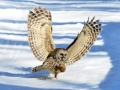Cyr Barred Owl with Squirrel