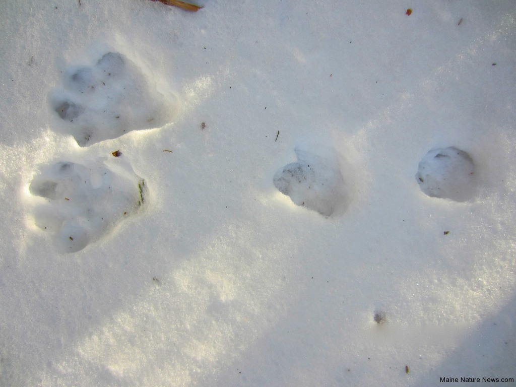 snowshoe-hare-bounding-track