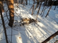 Tracks and deer fur
