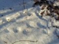 Tracks near deer fur