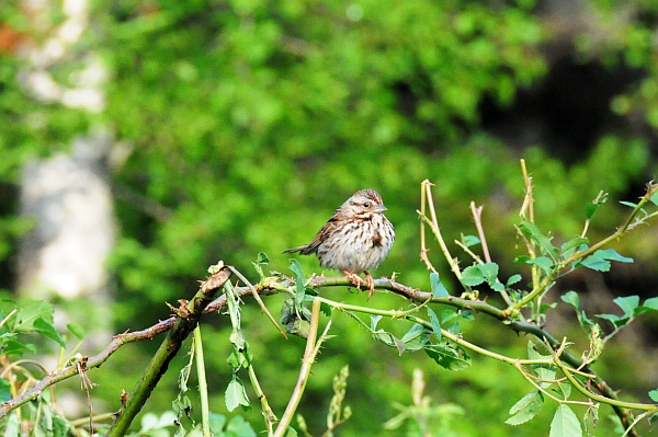 Worried Momma song sparrow.  She's on a climbing rose, about 8 feet up.  The rose had been chewed up by a porcupine.
