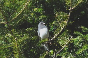 A dark eyed junco sits in a balsam fir tree.