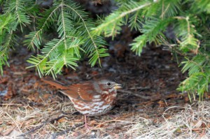 The Fox sparrow is the largest of our sparrows at about seven inches overall length.  It is unique to North America, and our version has a handsome rufous tail and its upper parts are also reddish (hence the name 'fox') with a gray wash.