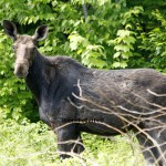 Robin's Journal – A Dirt Road, a Mole and Moose