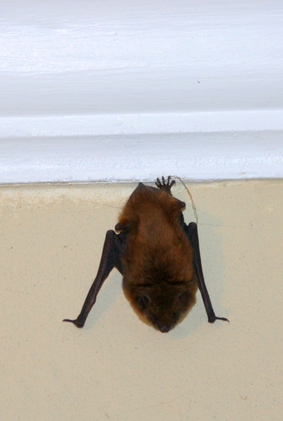 A little brown bat was just hanging around the dining room this morning.