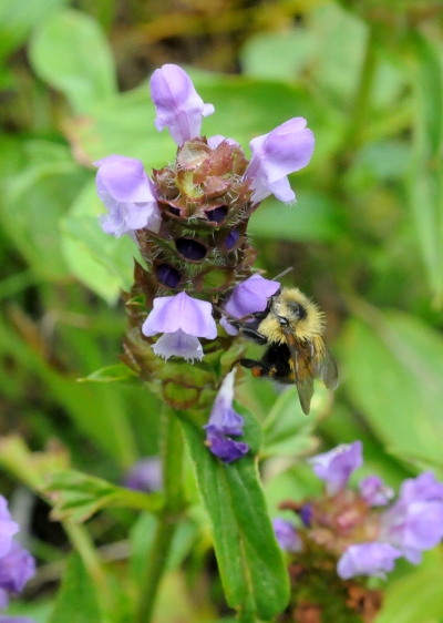 Self-heal (or Heal-all) is found throughout the temperate parts of the Northern Hemisphere and in North America is found in every state of the Union and every province of Canada except the Northwest Territories and Ninavut.