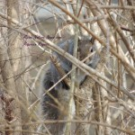 Hide-n-Seek Gray Squirrel