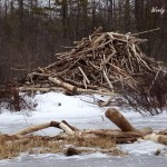 Beaver lodge & dam