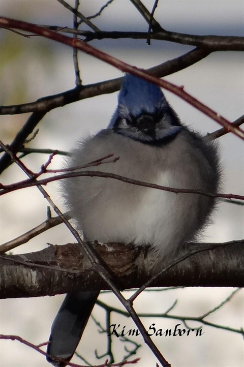 Blue Jay fluffed feathers