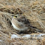 Horned Lark puffed up against the wind.