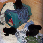 8 week old bear cubs