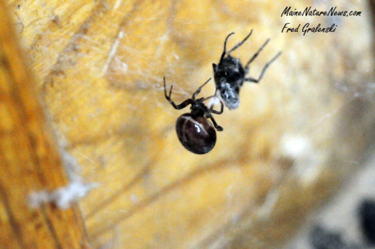 House Spider and Fly