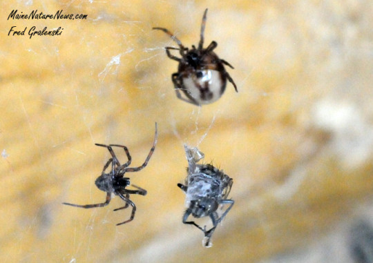 House Spiders with Fly