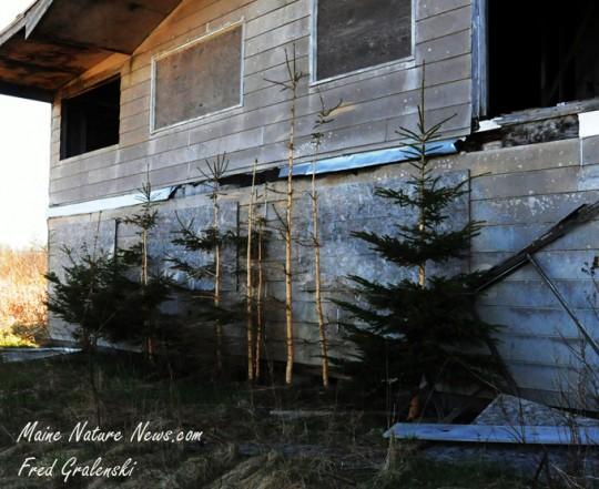 Porcupine eaten Spruce