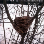 Bird nest in Pussy willow