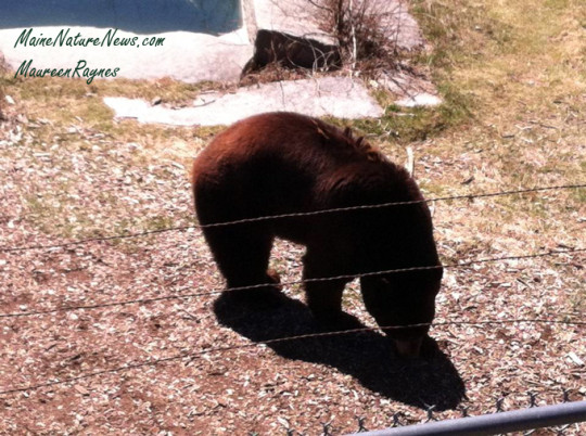Black Bear MWP