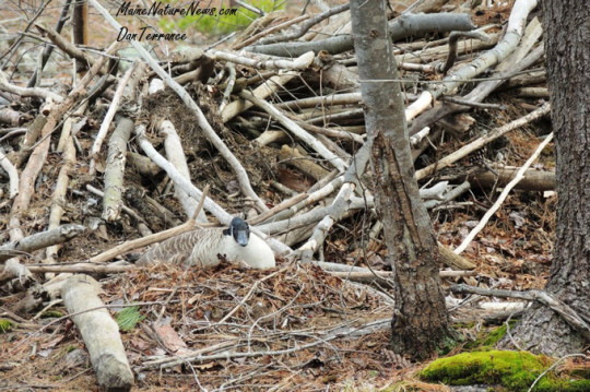 Canadian Goose on Nest