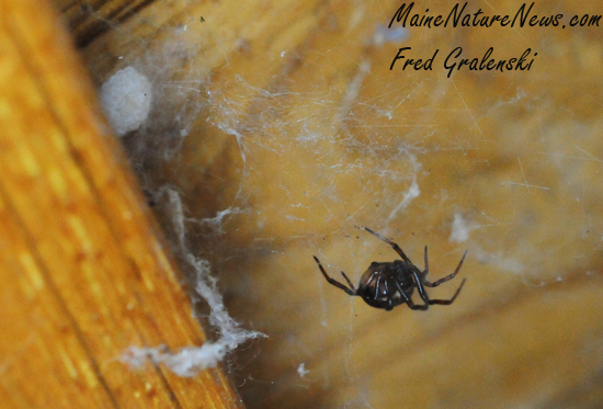 House Spider and egg sack