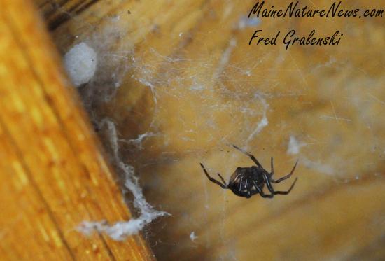 House Spider and egg sack