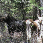 Moose with yearling in spring