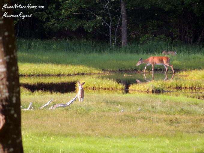 Spring Deer Family