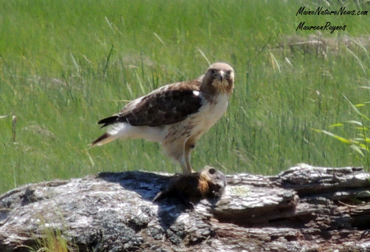 Red-Tailed Hawk with woodchuck