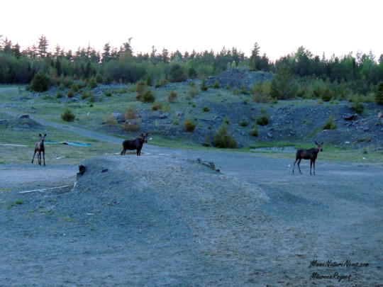 Moose at Soper Pit