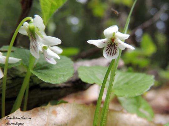 Northern White Violets
