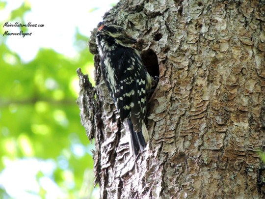 Hairy Woodpecker at nest