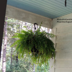 House Finch nest in fern