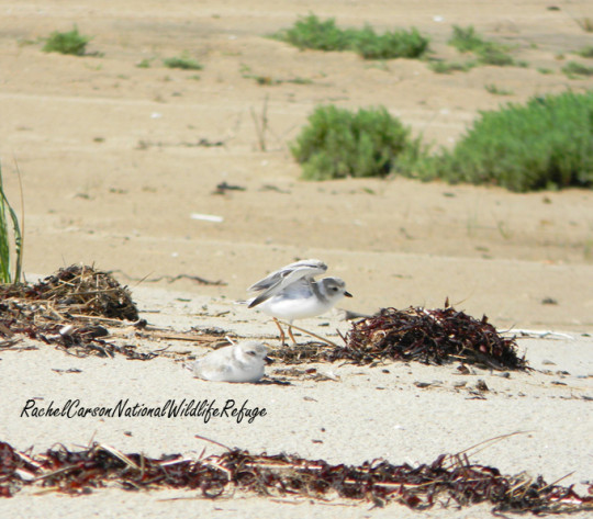 Piping Plover fledglings