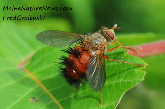 Red-butted tachinid
