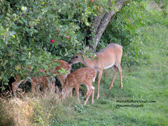 fawns under apple
