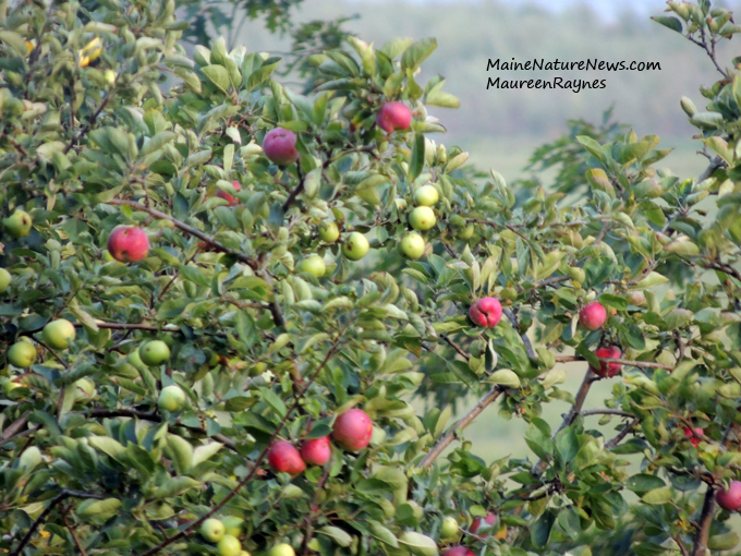 Natualized Apples