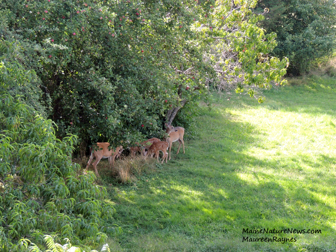 Deer under apple tree