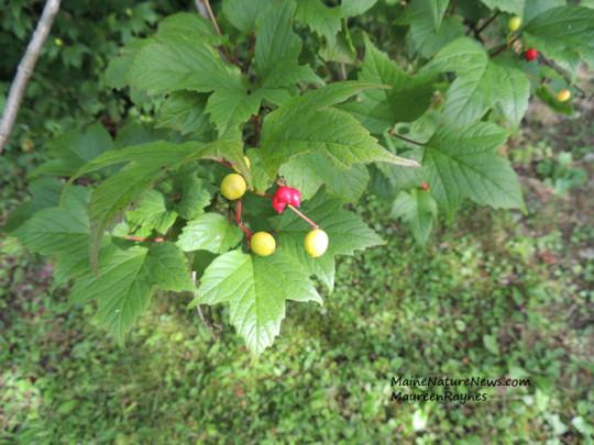 Highbush Cranberry with Fruit