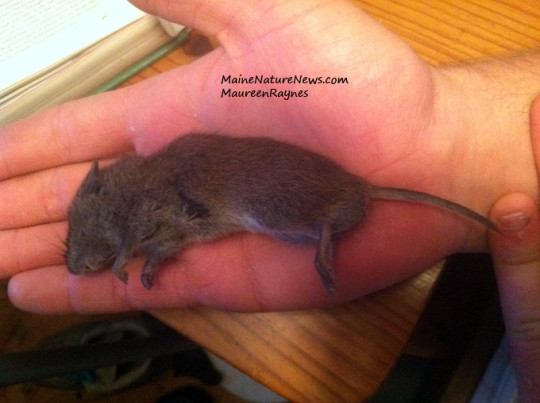 Meadow Vole rodent