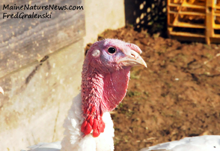 Domestic Farm Turkey