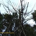 Dead Pine Snag