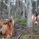 Spruce Wind Fall
