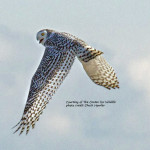 Weekly Notes ~ Snowy Owls