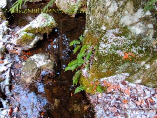 Rockcap Fern Ledge
