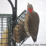 Weekly Notes ~ Northern Flicker