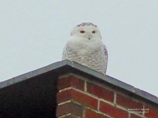 Snowy Owl Steve Yenco/Mainly Maine Photo