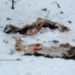 Deer Carrion for Scavengers