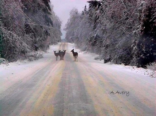 Deer on winter road