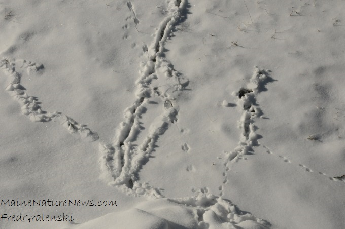 Tracks in snow of shrew and mouse