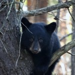 Black Bears Among Us