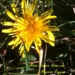 Dandelion in January