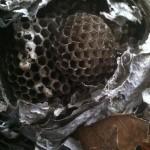 Bald-faced Hornet cells